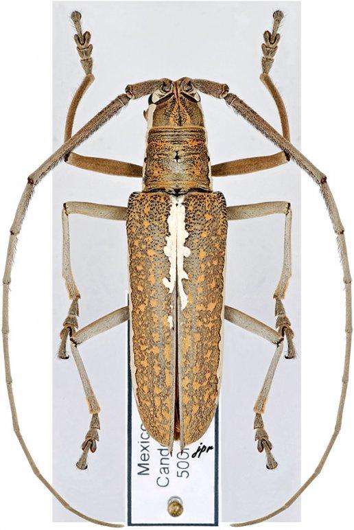 Neoptychodes trilineatus