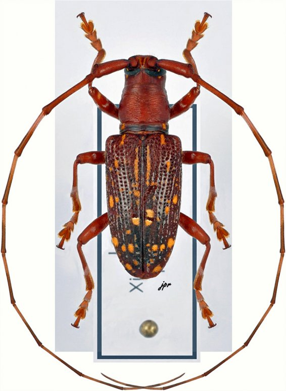 Agnioides striatopunctatus