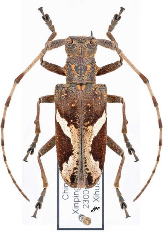 Paraleprodera stephana fasciata