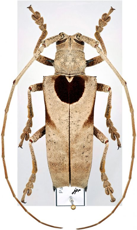 Periaptodes lictor
