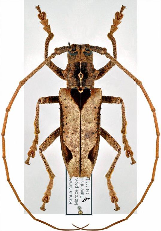 Potemnemus trimaculatus