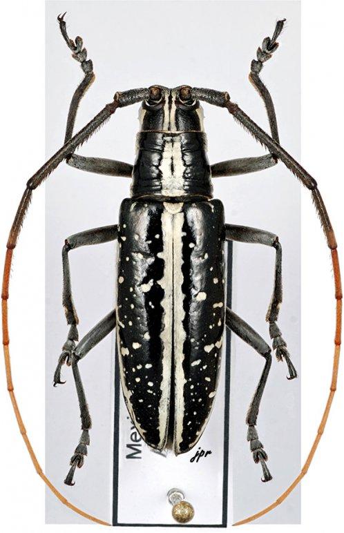 Ptychodes bifasciatus