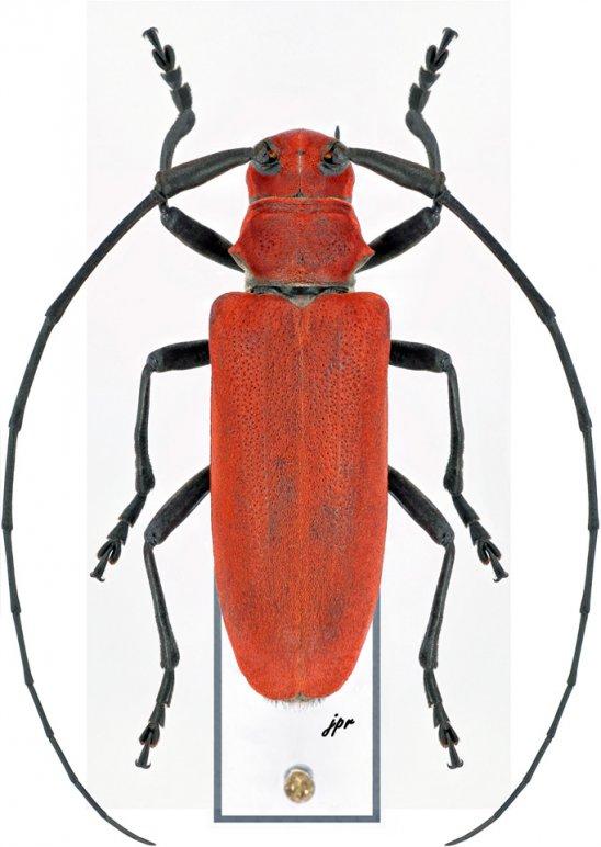 Rufohammus rufescens