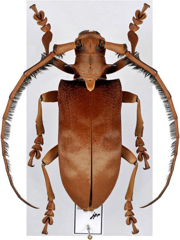 Sarothrocera lowii
