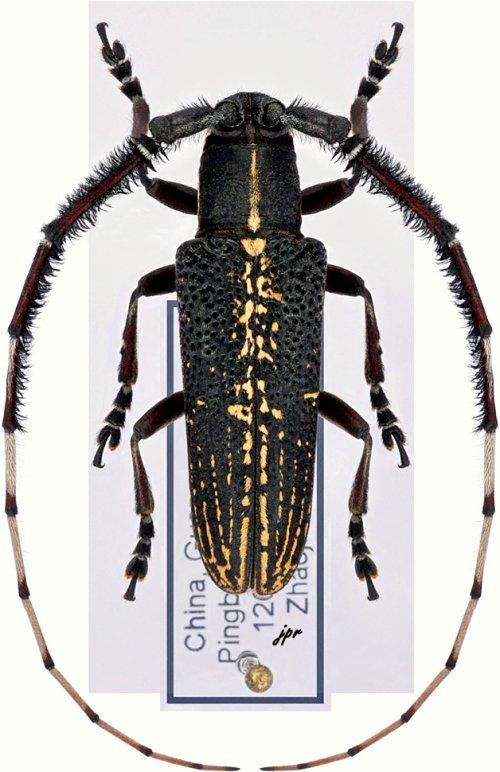 Stegenagapanthia albovittata