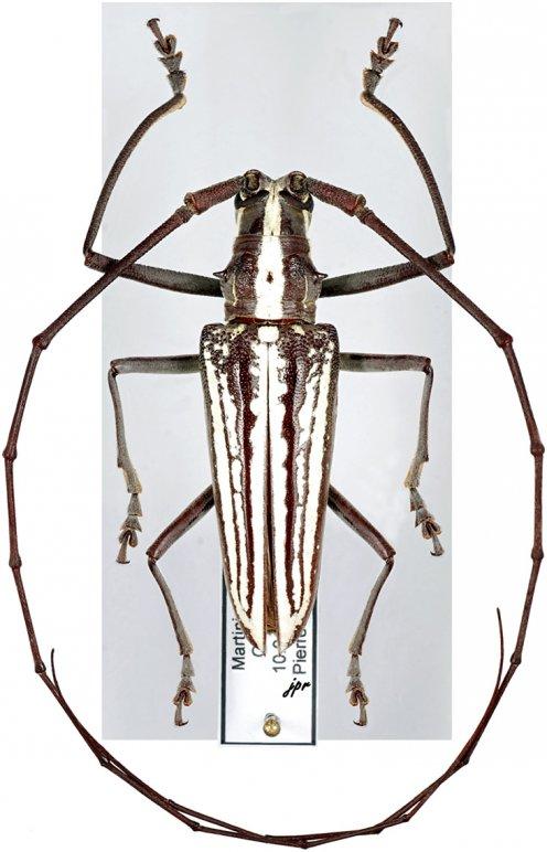 Taeniotes leucogrammus leucogrammus