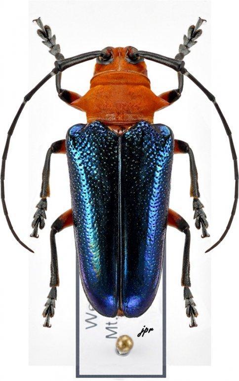 Thermonotus coeruleipennis