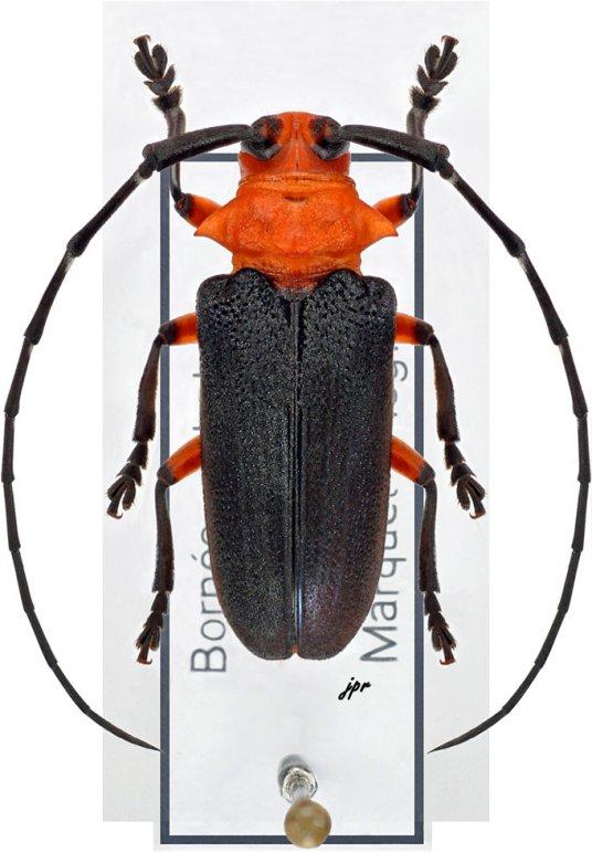 Thermonotus nigripennis