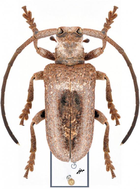 Tympanopalpus dorsalis