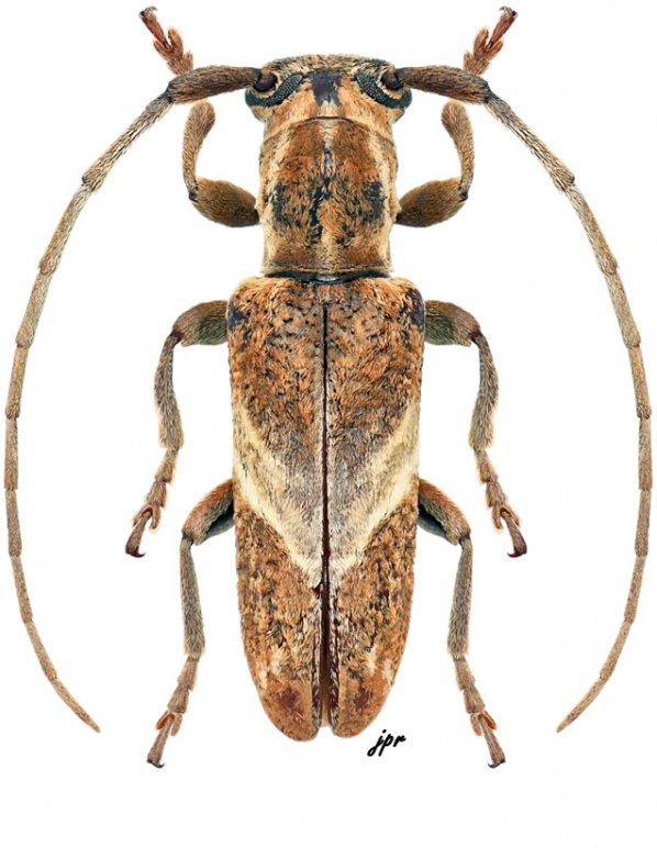 Spodotaenia tanzanicola