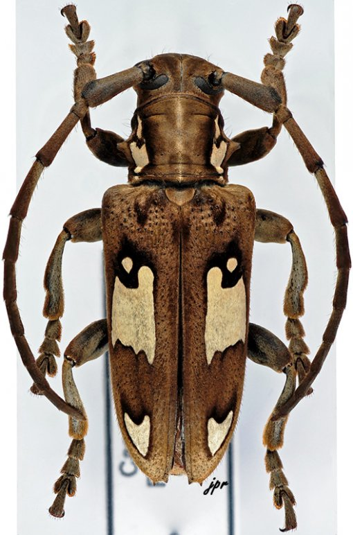 Mimocalothyrza speyeri