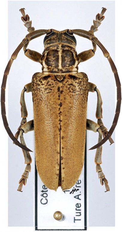 Synhomelix kivuensis