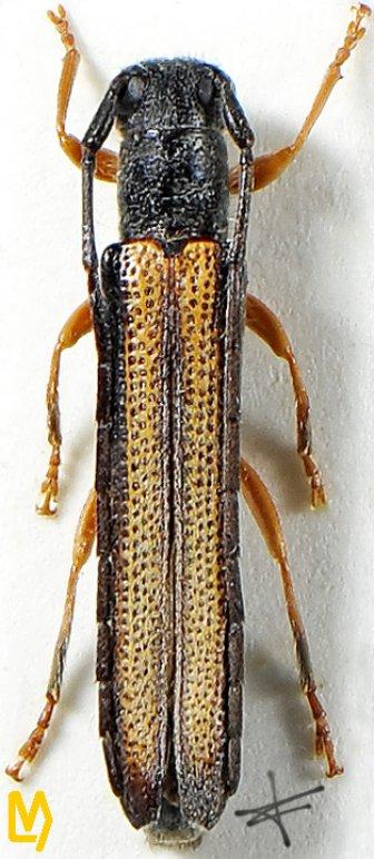 Oberea scutellaroides