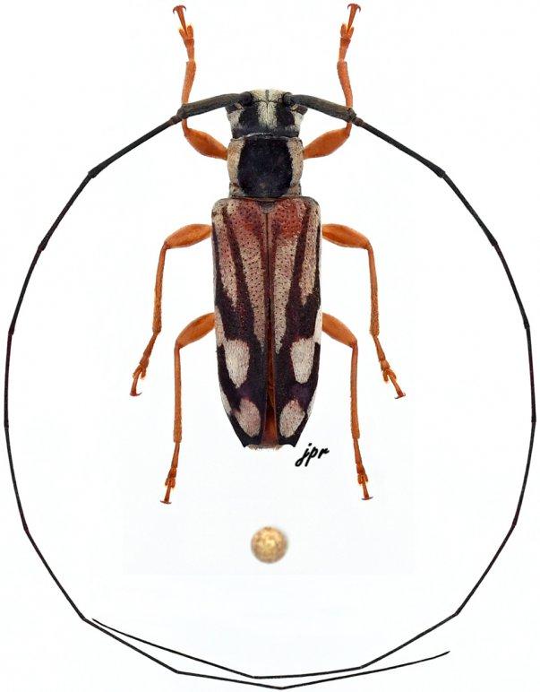 Ocularia albolineata