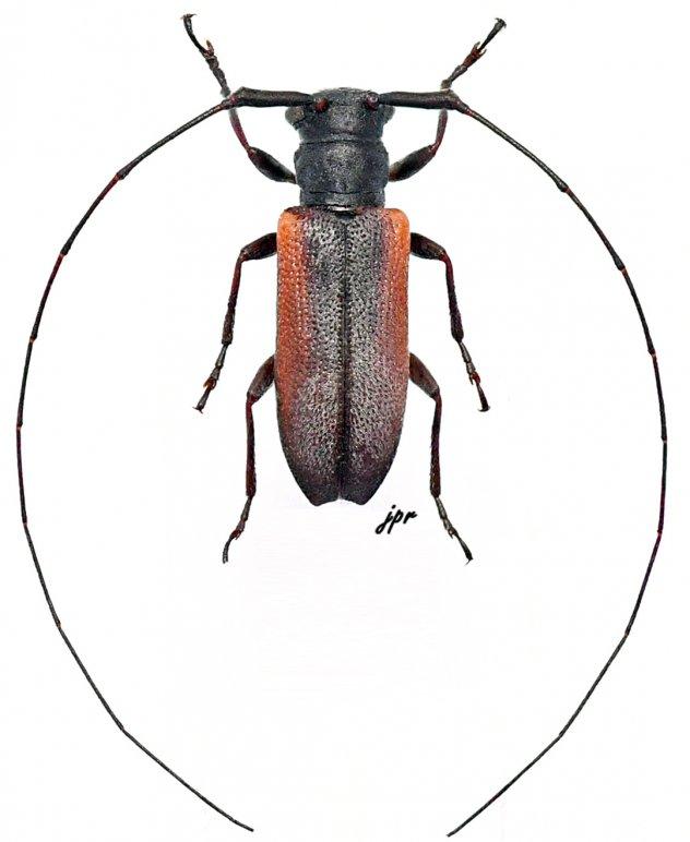 Ocularia grisescens