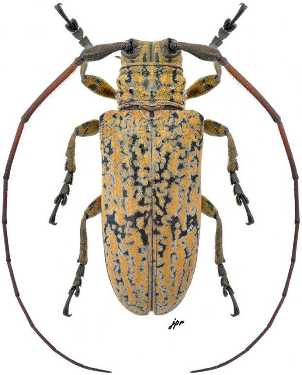 Hesychotypa turbida