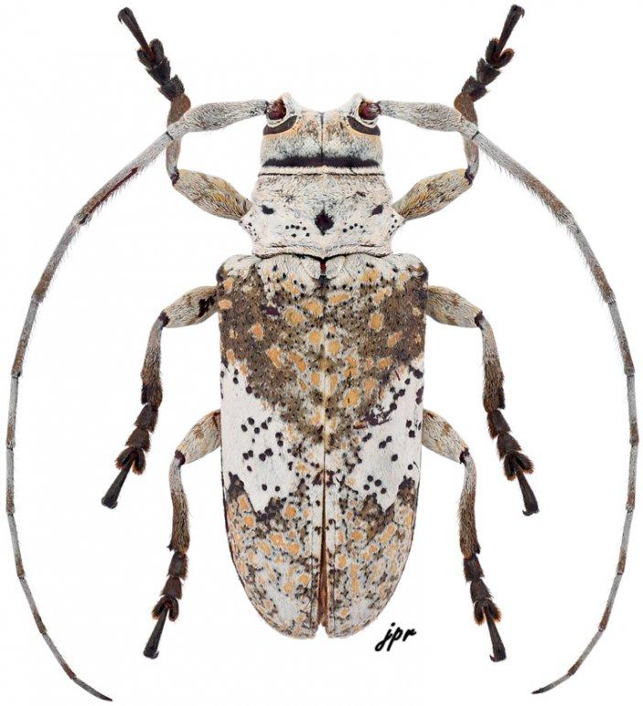 Lochmaeocles nigritarsus