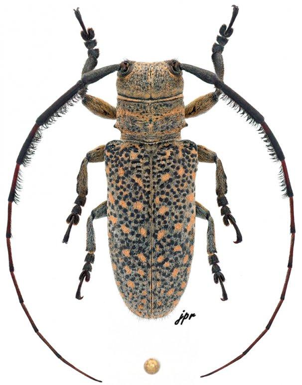 Taricanus truquii