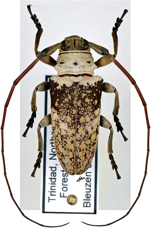Lochmaeocles zonatus