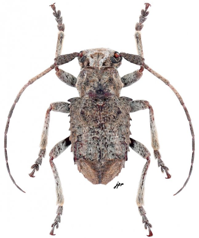 Hoplocleptes humeridens