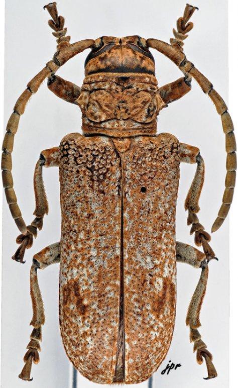 Homelix cribratipennis