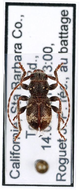 Ipochus fasciatus