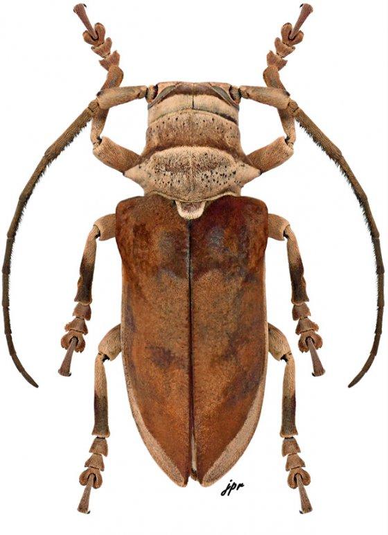 Capitocrassus castaneus