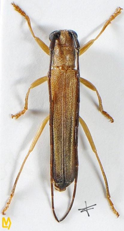Obereopsis limbata