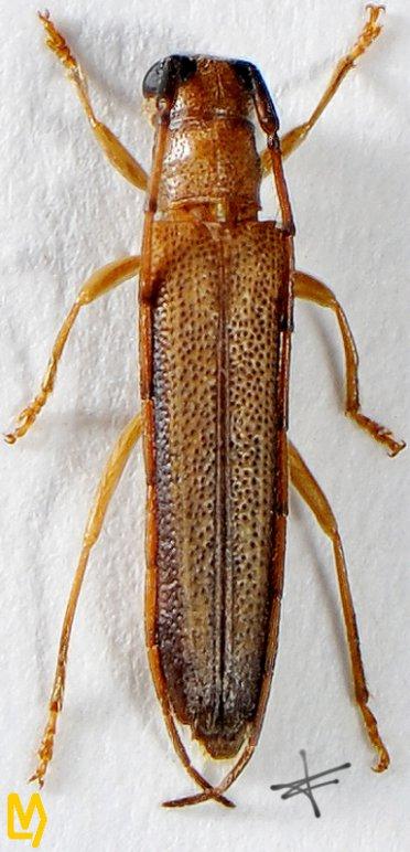 Obereopsis trinotaticollis