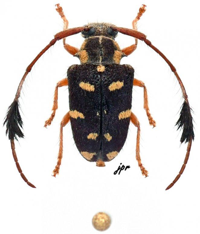 Phacellus plurimaculatus