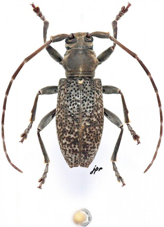 Pseudobrimus gabonicus