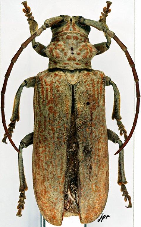 Brachytritus hieroglyphicus