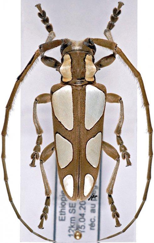 Calothyrza pauli