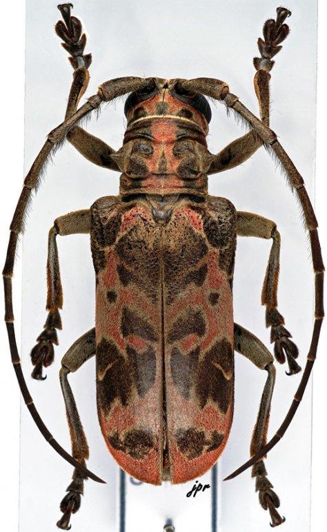 Eurysops similis