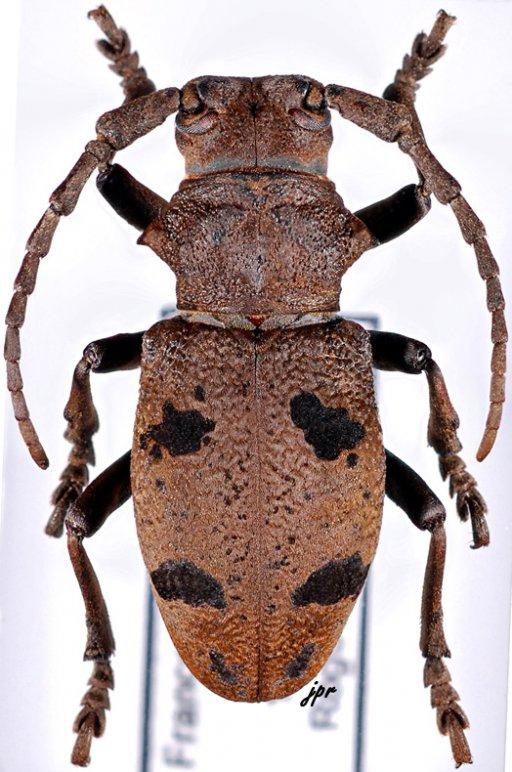 Herophila tristis tristis