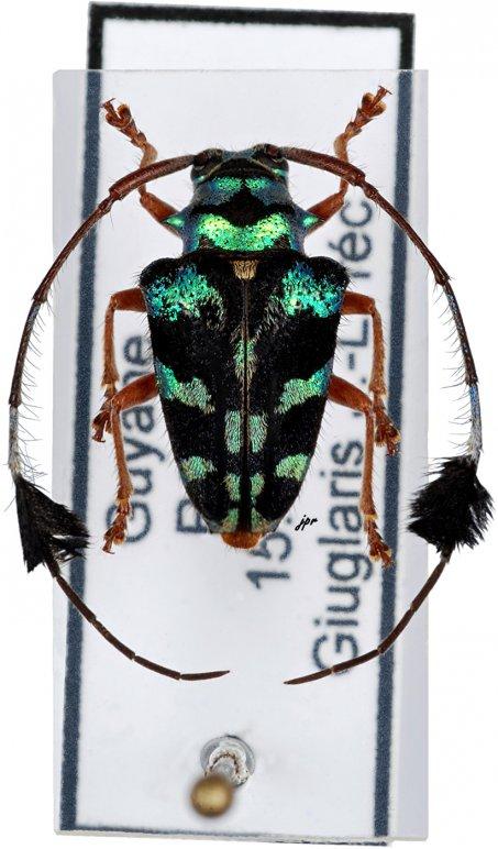 Phacellus boryi