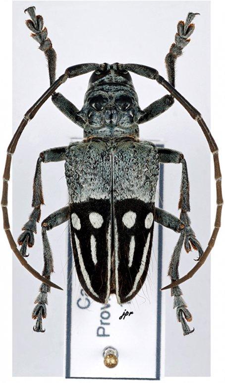Phryneta pulchra