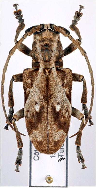 Phryneta coeca coeca