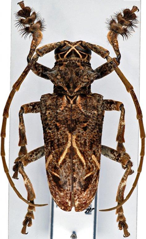 Phrynetopsis fuscicornis