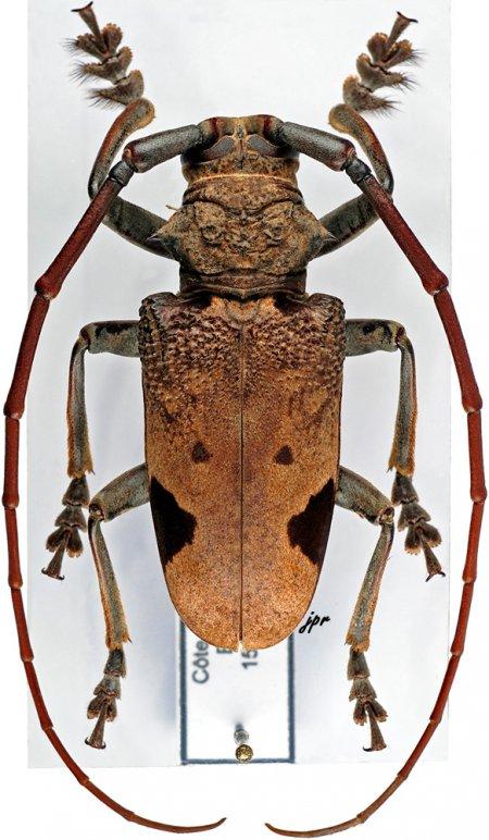 Phryneta leprosa