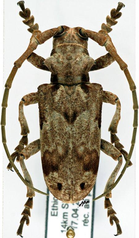 Phryneta obliquata