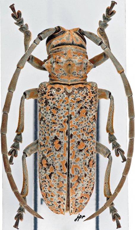 Stenophryneta variegata