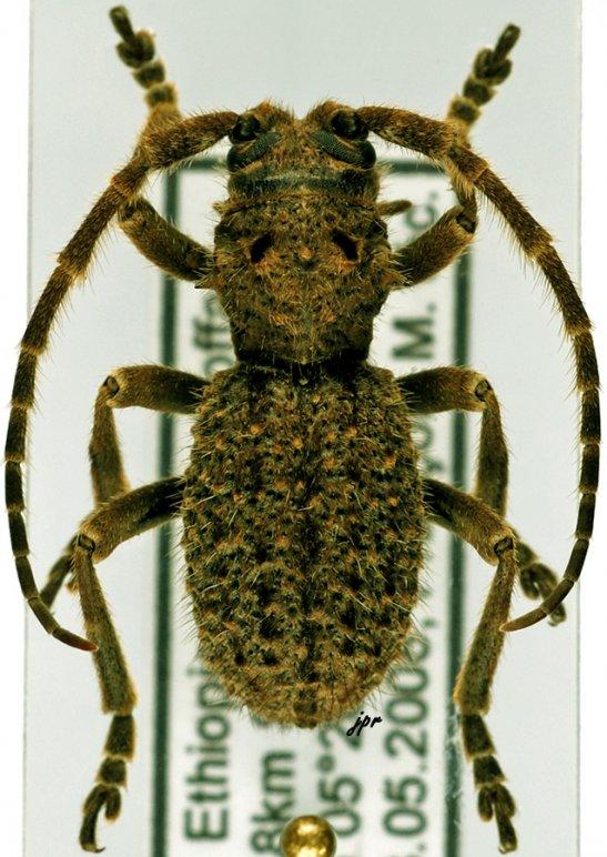 Trichophantasis subtuberculata