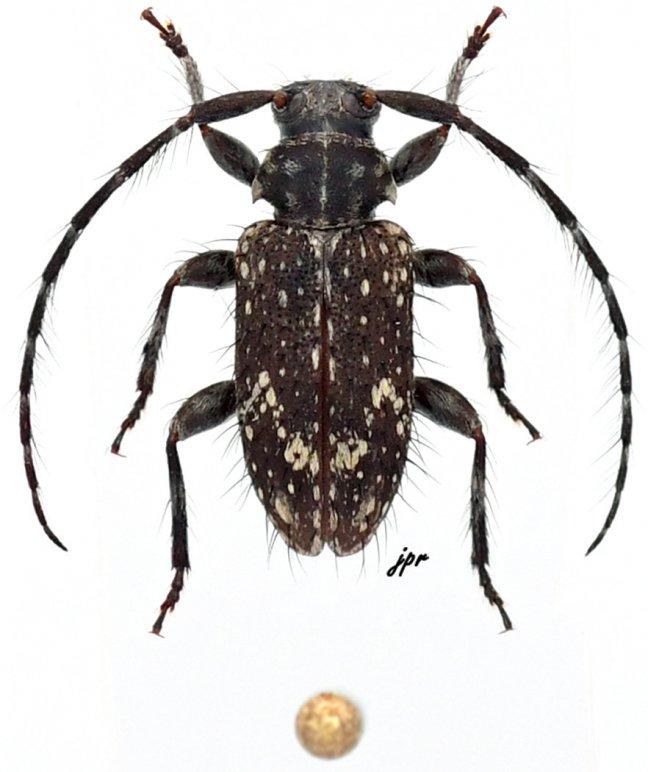 Exocentrus nonymoides