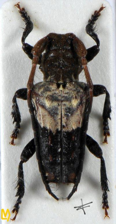 Pogonocherus dimidiatus