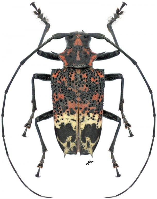 Polyrhaphis belti