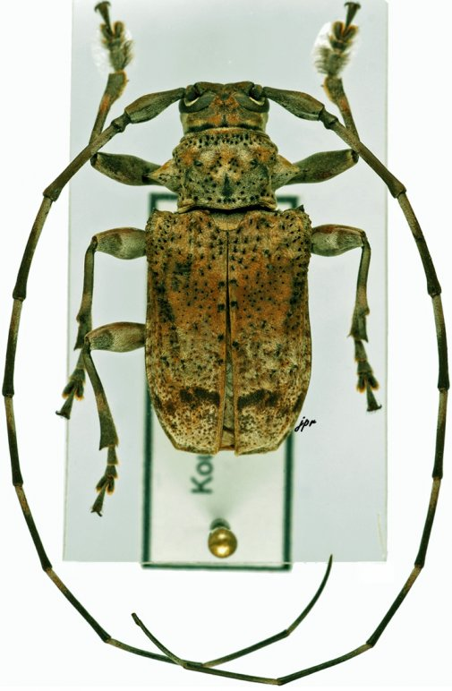 Eudryoctenes africanus africanus
