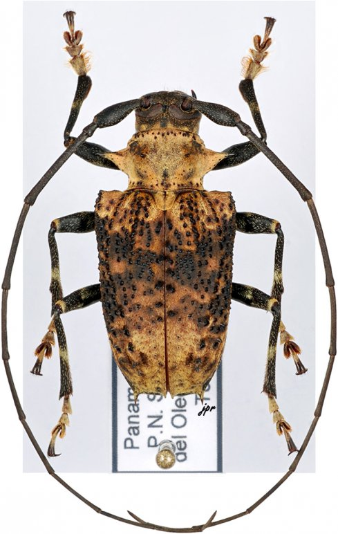 Polyrhaphis batesi