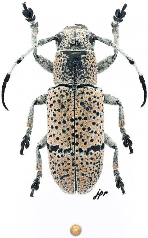 Callimetopus pantherinus