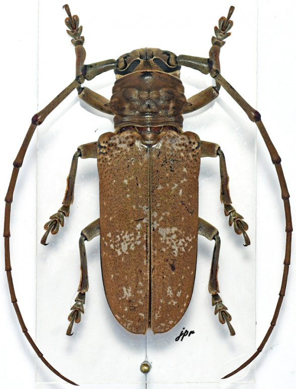 Prosopocera griseomaculata